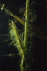 Underwater Brown hydra (Hydra oligactis) in sand winning pit, Holland  -  Willem Kolvoort
