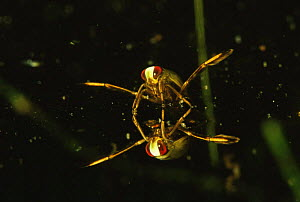 Young Backswimmer (Notonecta glauca) reflected at water surface, garden pond, Holland  -  Willem Kolvoort