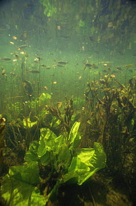 Shoals of Rudd (Scardinius erythrophthalmus) and young Yellow waterlily leaves (Nuphar lutea), Lake Naarden, Holland  -  Willem Kolvoort