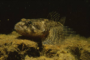 Bullhead portrait (Cottus gobio) in sand winning pit, Holland  -  Willem Kolvoort