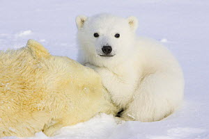 Polar Bear {Ursus maritimus} 3/4-months cub huddled over mother who has been anaesthetised by biologists, Wapusk NP, Manitoba, Canada~(Digitally removed mother's ear tags) - Suzi Eszterhas