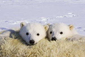 Polar Bear {Ursus maritimus} 3/4-months cubs peeking over mother who has been anaesthetised by biologists, Wapusk NP, Manitoba, Canada  -  Suzi Eszterhas