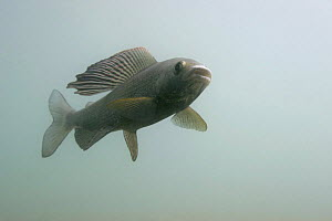 European Grayling (Thymallus thymallus), Male, Aare river, Switzerland, 2005  -  Michel Roggo