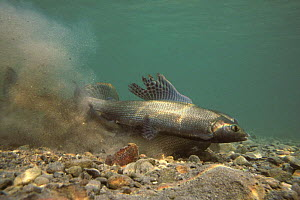 European Graylings (Thymallus thymallus) spawning, male in foreground, Lake of Thoune, Switzerland, 1992  -  Michel Roggo