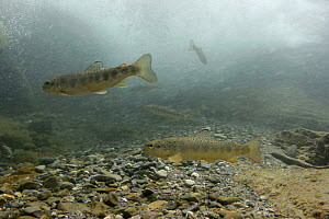 Brown trout (Salmo trutta fario) under waterfall, waiting for drift food, Saane river tributary, Swiss Alps, Fribourg, Switzerland 2006  -  Michel Roggo