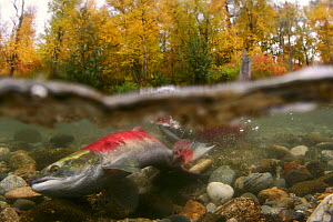 Sockeye / Red Salmon (Oncorhynchus nerka), female digging to lay eggs on spawning ground, Adams river, British Columbia, Canada 2006  -  Michel Roggo