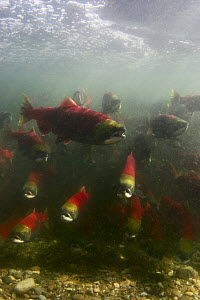 Sockeye / Red Salmon (Oncorhynchus nerka) waiting in lake to enter the Adams river for migration upstream, British Columbia, Canada 2006 - Michel Roggo
