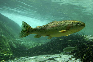 Rainbow trout (Salmo gairdneri / Oncorhynchus mykiss) in pool of the Lepena river, Slovenia 2006  -  Michel Roggo