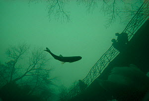 Looking down at Chubb (Leuciscus cephalus) at surface with reflection of bridge, Rhine River, Switzerland, 1993. No release available.  -  Michel Roggo