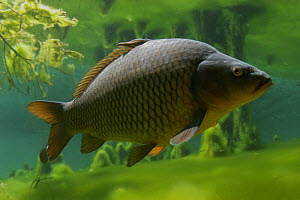 Carp (Cyprinus carpio), Aare river, Switzerland 2006 - Michel Roggo