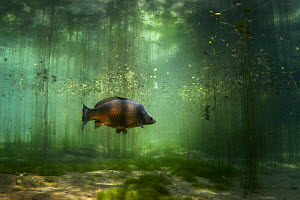 Carp (Cyprinus carpio) Aare River, Switzerland 2006 - Michel Roggo