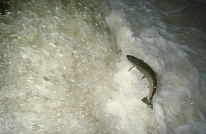 Lake trout (Salmo trutta lacustris) morph of Brown Trout, leaping upstream on migration to spawning ground from the Lac de Neuch�tel, Areuse River, Switzerland, 1989  -  Michel Roggo