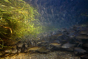 Roach (Rutilus rutilus) spawning behavior in tributary of the Lake of Seedorf, Fribourg, Switzerland 2006  -  Michel Roggo