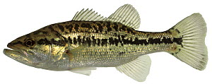 Large mouthed bass (Micropterus salmoides) Europe - Michel Roggo