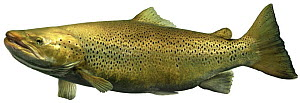 Lake trout (Salmo trutta lacustris) morph of the Brown Trout, Europe  -  Michel Roggo
