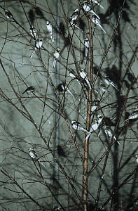 Pied Wagtails (Motacilla alba yarrellii) roosting in tree in a car park at night, Sussex, UK - Simon Colmer