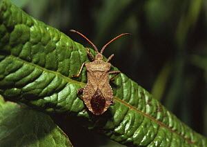 Squash bug (Coreus marginatus) on dock leaf, Sussex, UK  -  Simon Colmer