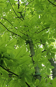 Horse chestnut tree (Aesculus hippocastanum)showing young spring leaves, Sussex, UK - Simon Colmer