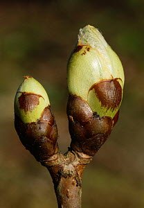 Horse chestnut (Aesculus hippocastanum) bud about to burst, New Forest, Hampshire, England, UK. - Simon Colmer