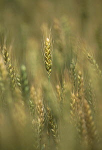 Wheat (Triticum aestivum) ripening heads, Sussex, UK.  -  Simon Colmer