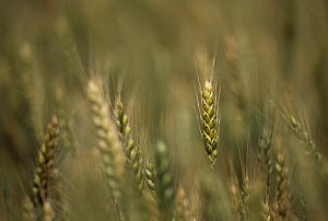Wheat (Triticum aestivum) ripening heads, UK. - Simon Colmer