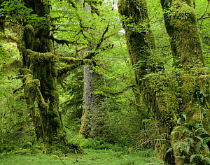 Moss covered trunks of Sitka spruce {Picea sitchensis} and Big leaf maple {Acer macrophyllum}, also Sword ferns {Polystichum munitum} Hoh temperate rainforest, Olympic NP, Washington, USA - Jack Dykinga