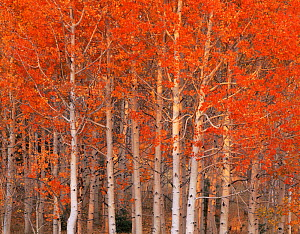 Quaking aspen trees {Populus tremuloides} in autumn, Boulder Mountain, Dixie national forest, Utah, USA - Jack Dykinga