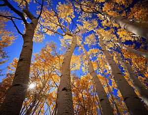 High angle shot of trunks of Quaking aspen trees {Populus tremuloides} in autumn, Boulder Mountain, Dixie national forest, Utah, USA  -  Jack Dykinga