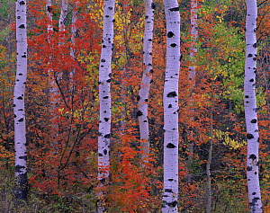 Quaking aspen {Populus tremuloides} and Bigtooth maple {Acer grandindentatum} trees in autumn colours, Mt Timpanogos, Uinta National Forest, Utah, USA - Jack Dykinga
