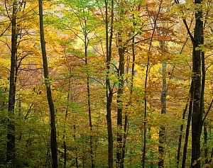 Sugar maple {Acer saccharum}, American beech {Fagus grandifolia} and Yellow birch {Betula alleghaniensis} trees turning colour in autumn, Green Mountain National Forest, Vermont, USA  -  Jack Dykinga