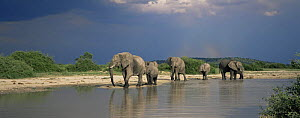 African elephants {Loxodonta africana} beside river with dark storm clouds behind, Savute Chobe NP, Botswana - Richard Du Toit