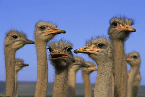 Flock of domestic Ostrich {Struthio camelus} Southern Cape, South Africa (This image may be licensed either as rights managed or royalty free.) - Richard Du Toit