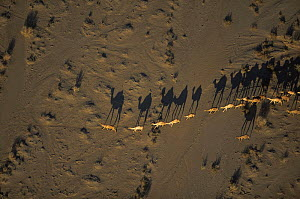 Aerial view of Turkana Dromedary camels {Camelus dromedarius} crossing desert in evening sun with long shadows, Lake Logipi, Kenya  -  Richard Du Toit