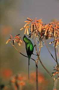 Malachite sunbird {Nectarinia famosa} male feeding from flowers, South Western Cape, South Africa  -  Richard Du Toit