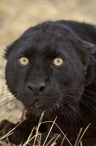 Leopard Black / Melanistic Panther) {Panthera pardus} looking startled, Captive  -  Dave Watts