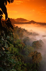 RF- Sunrise and mist over lowland dipterocarp rainforest. Danum valley, Sabah, Borneo, Malaysia. (This image may be licensed either as rights managed or royalty free.)  -  Nick Garbutt
