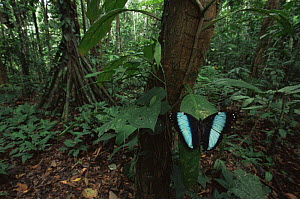 Morpho butterfly {Morpho achilles} displaying in rainforest understorey, nr Napo river, Amazonia, Ecuador  -  Nick Garbutt