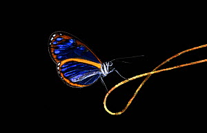 Clear wing butterfly (Ithomiinae sp.) profile on plant tendril in the cloud forest of Ecuador  -  Pete Oxford