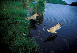 Domestic dogs, two Labrador retrievers jumping into water.  -  Adriano Bacchella
