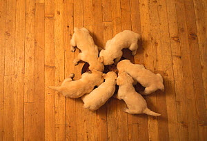 Domestic dogs, six Labrador Retrievers eating from central bowl.  -  Adriano Bacchella