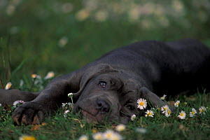 Domestic dog, black Neopolitan Mastiff puppy lying on grass among daisies.  -  Adriano Bacchella