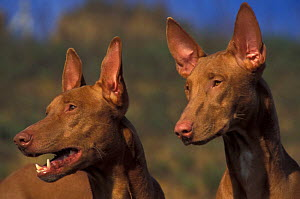 Two Domestic dogs, Pharoah Hounds - Adriano Bacchella