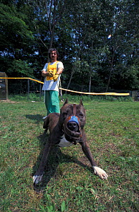 Domestic dog, Pit Bull terrier with muzzle being restrained by owner during Pit Bull competition, USA. The Pit Bull Terrier is a breed banned in many countries.  -  Adriano Bacchella