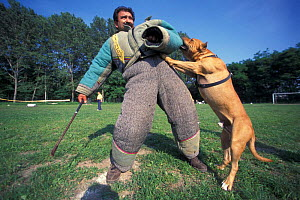 Domestic dog, Pit Bull terrier attacking person, wearing protective clothing, as part of training, USA. The Pit Bull Terrier is a breed banned in many countries.  -  Adriano Bacchella