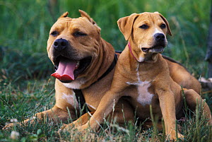 Domestic dogs, Pit Bull Terrier with puppy. The Pit Bull Terrier is a breed banned in many countries.  -  Adriano Bacchella