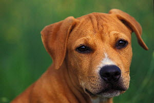 Domestic dog, Pit Bull terrier puppy portrait. The Pit Bull Terrier is a breed banned in many countries.  -  Adriano Bacchella