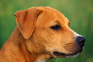 Domestic dog, head profile of Pit Bull terrier puppy. The Pit Bull Terrier is a breed banned in many countries.  -  Adriano Bacchella