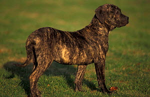 Domestic dog, Pit Bull Terrier puppy profile. The Pit Bull Terrier breed is banned in some countries.  -  Adriano Bacchella