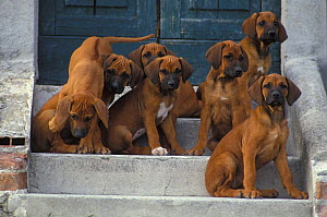 Domestic dog, six Rhodesian Ridgeback juveniles sitting on steps while one climbs down.  -  Adriano Bacchella