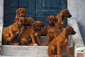 Domestic dogs, seven Rhodesian Ridgeback juveniles sitting on steps.  -  Adriano Bacchella